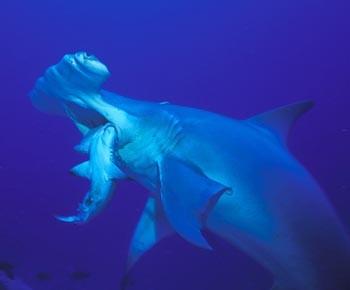 Life Cycle Of A Hammerhead Shark | www.pixshark.com ...