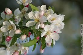Apple Blossom Stuttgart Arkansas Mockingbird