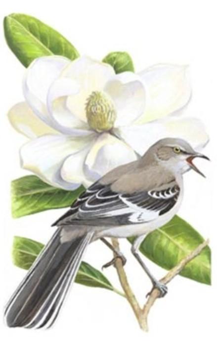 Northern Mockingbird With Magnolia Flower