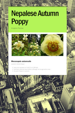 Nepalese Autumn Poppy