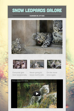 Snow Leopards Galore