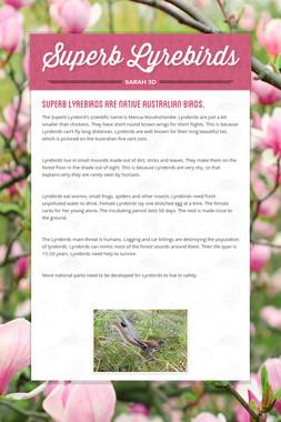Superb Lyrebirds