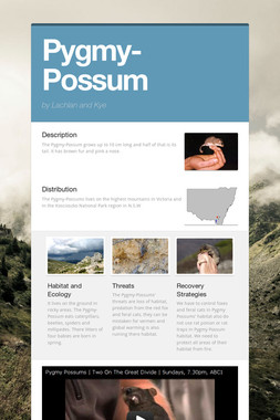 Pygmy-Possum