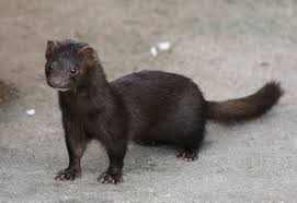 Classification of the American Mink and Evolutionary Relationships