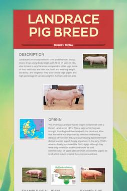 LandRace Pig Breed