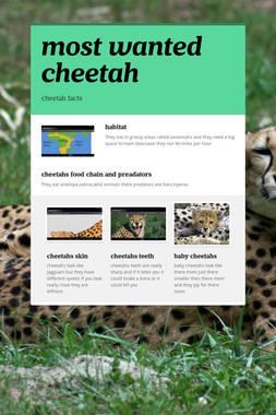most wanted cheetah