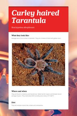 Curley haired Tarantula