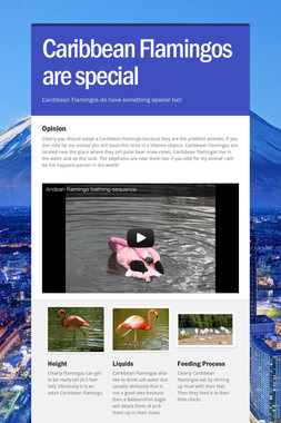 Caribbean Flamingos are special