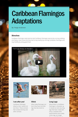 Caribbean Flamingos Adaptations