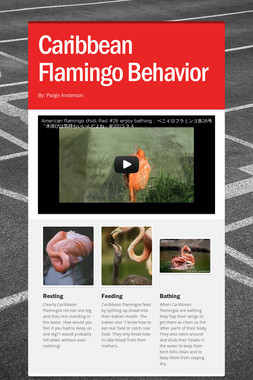 Caribbean Flamingo Behavior