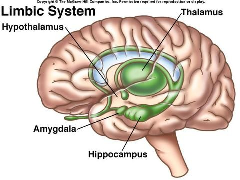 parts with this limbic system