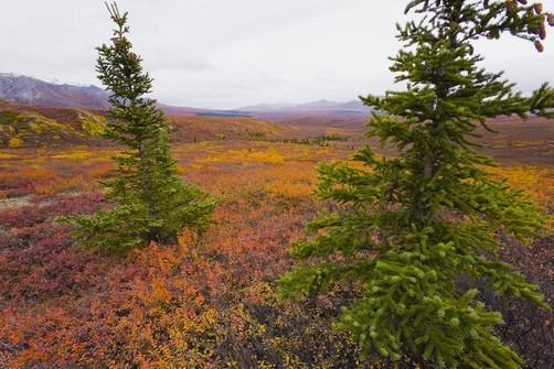 Tundra voles