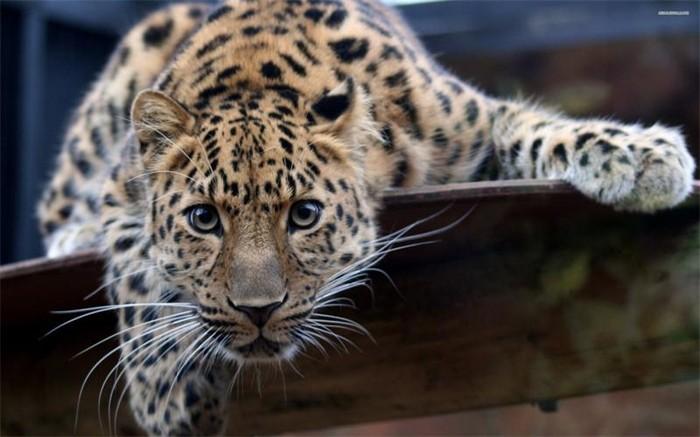 About Amur leopard