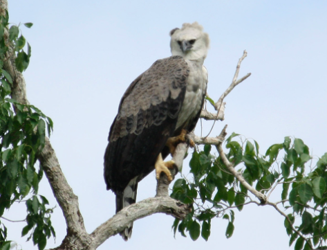 south american harpy eagles smore newsletters for education