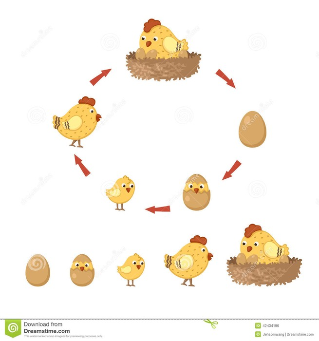 This is the life cycle of chickens