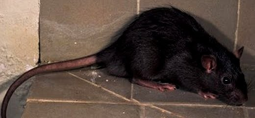 La rata negra o rattus rattus