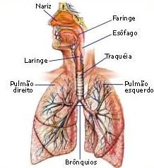 Orgãos do sistema respiratório