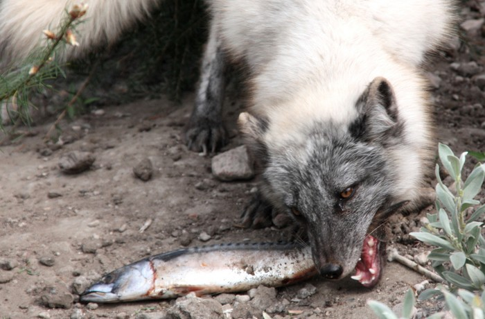 the arctic fox smore newsletters