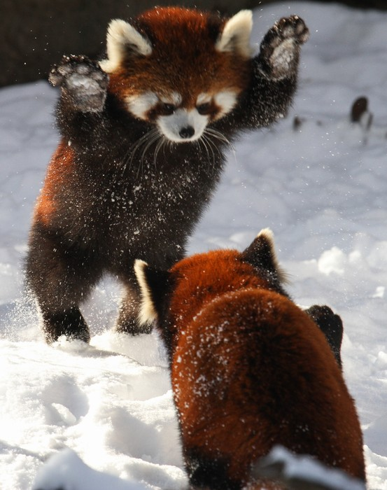 Image of: Nepal Red Pandas Are Endangered We Need To Protect Them They Have To Be Saved Before They Are Extinct Do You Want To Help Protect Them Certainly Do Smore Red Panda Smore Newsletters