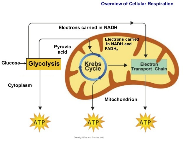 cellular respiration diagram with explanation gallery how to guide and refrence. Black Bedroom Furniture Sets. Home Design Ideas