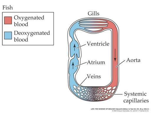 Highlight: The Circulatory System
