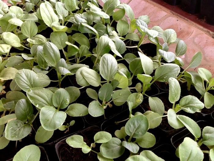 Pak Choi Seedlings Pak Choi
