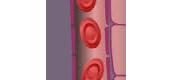 מעבר חמצן וחומרי מזון מנימי הדם אל תאי הגוף