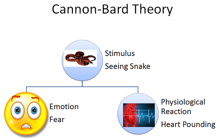 advantages of cannon bard theory Problems with cannon bard theory but what about the facial feedback phenomenon from psyc 1101 at georgia tech.