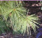 Taiga plant adaptations.