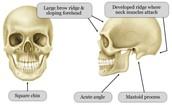 Man's Skull