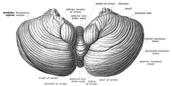 Cerebellum View