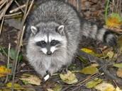 Ring-Tail Raccoon