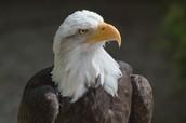 Life of the Bald Eagle