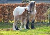 Belgian Draft foal