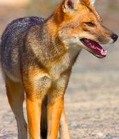 Cyotes