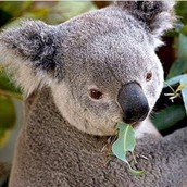 The Australian Koala Foudation estimates that there are less than 1000,000 koalas left in the wild,possibly as few as 43,000.