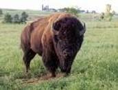 The Plains Bison facts-
