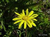 Flordia false sunflower