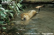 Jaguar hunting under water