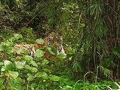 Why The Tigers Are In Danger?