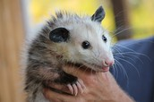 Urban Animal Encounters: Awesome Opossums