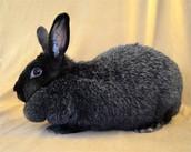 Black Silver Fox Rabbit