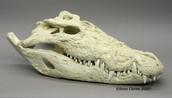 Modern crocodile