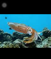 Coral reef squid