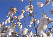 ***Cotton Info!***