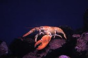 lobsters geographical home and biome type