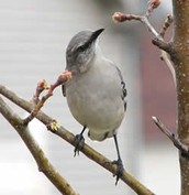 Mississippi state bird:the Mockingbird