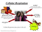 Animal Cellular Respiration