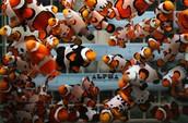 Alpha Aquaculture Clownfish