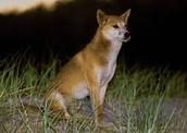 Dingo Alone